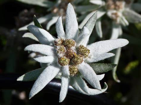 edelweiss leontopodium alpinum thought