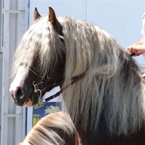mane horse wikipedia