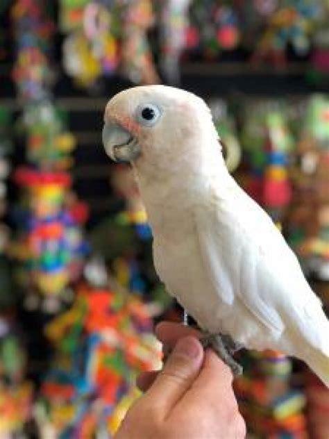 goffin cockatoo  sale offer
