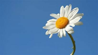 Daisy Wallpapers Flower Background Sky Summer Desktop