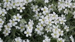 Weiß Blühende Stauden : die farbe wei im garten es leuchtet im dunklen ~ Markanthonyermac.com Haus und Dekorationen