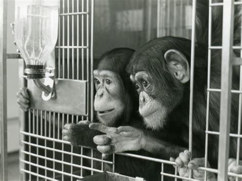 chimpanzees  laboratories peta