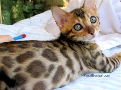 Bengal Kittens For Sale, Healthy, Top Quality Bengal