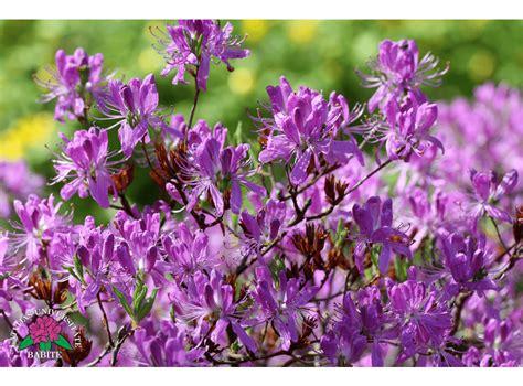 Latvijas stādi - Rhododendron canadense - Kanādas rododendrs