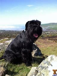 Best Standard Schnauzer Ideas And Images On Bing Find What You