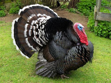pictures of turkeys breed savers beltsville small white turkeys