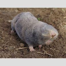 This Week In Endangered Species You've Never Heard Of The Vojvodina Blind Mole Rat
