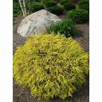 gold thread cypress Online Orchards 1 Gal. Kings Gold Threadbranch Cypress ...