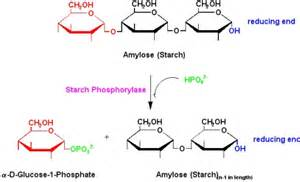 Hydrolysis of Starch into Glucose