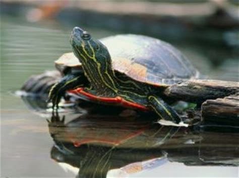 basic information  freshwater turtles  pets central