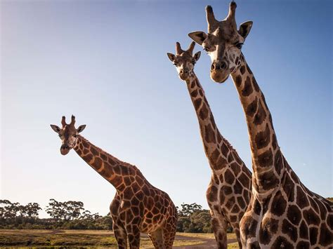 wildlife nature zoos melbourne zoo australia victoria giraffe fauna things werribee range open visitmelbourne activities