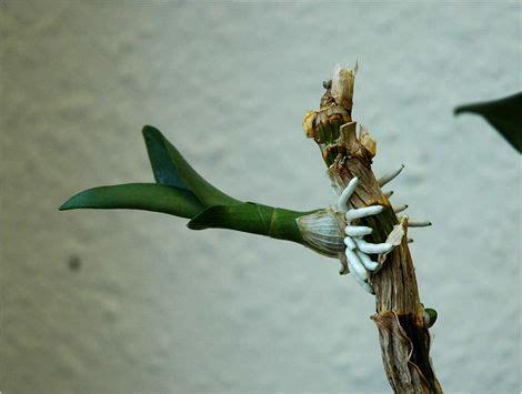 Orchideen Kindel Einpflanzen by Orchideen Ableger Orchideen Vermehren Orchideen