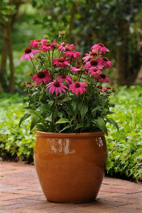 container of echinacea powwow berry aas winner patio pots and containers