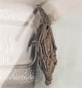 Moth Cocoon Identification