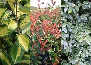 Plantes à Feuillage Persistant : vente haie fleurie a feuillage colora 2017 et plante haie ~ Premium-room.com Idées de Décoration