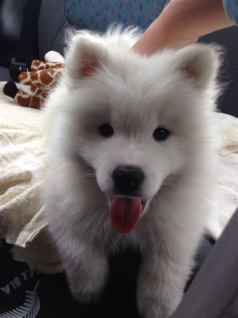 Samoyed Puppy Loki Cute Puppies And Dog Training Tips By