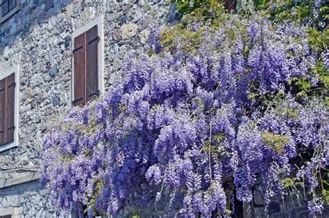 copy right free pictures of purple wisteria purple wisteria next to a wall of an house royalty free stock photos image 21509888