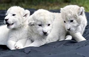 Rare white lion cubs make debut - NY Daily News