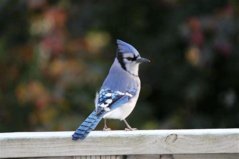 tips  attracting blue jays blue jays blue jay bird