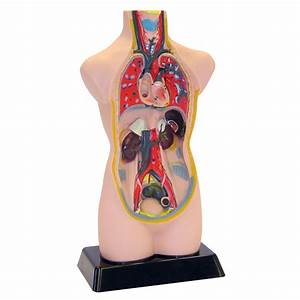 Human Anatomy Model With Stand