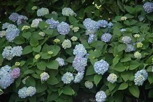Hortensie Endless Summer Standort : grumer gartengestaltung hydrangea endless summer ~ Lizthompson.info Haus und Dekorationen