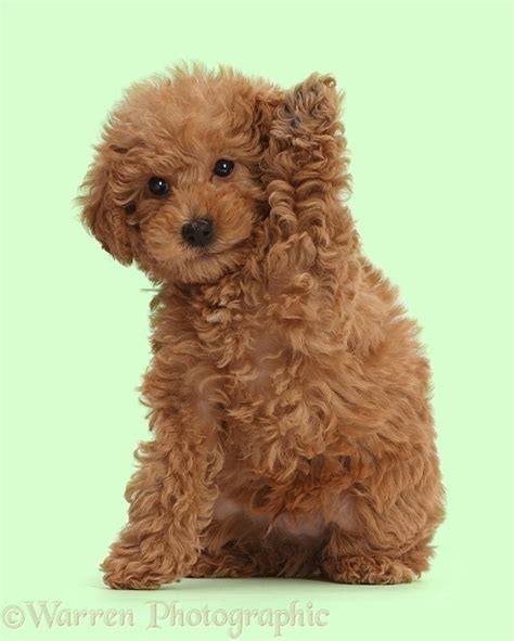 dog red toy labradoodle puppy waving photo wp