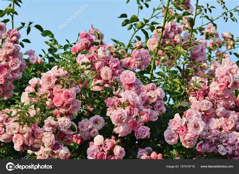 immagine fiore rosa fiori rosa a cespuglio di rosa ricante foto stock