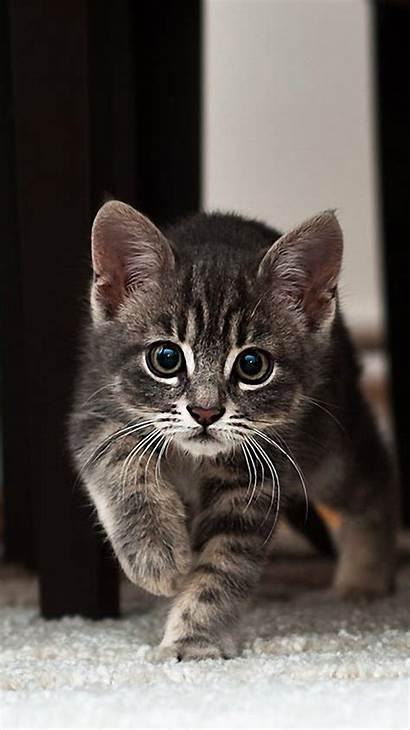 Shorthair American Kitten Cat Striped Air Apple