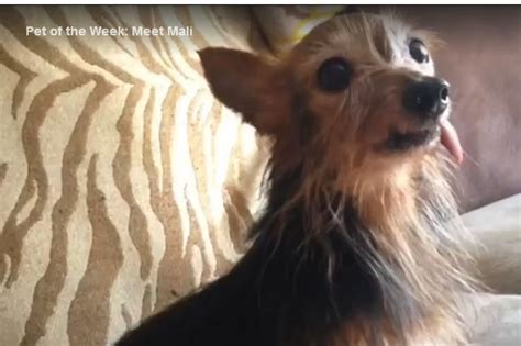 Miniature Yorkshire Terrier  Ee  Yorkie Ee   Saved From Puppy