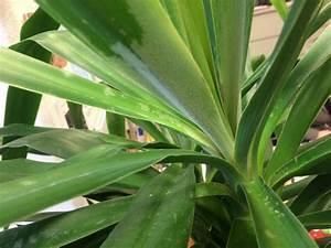 Yucca Palme Garten : yucca palme mit wei em belag seite 1 pflanzendoktor ~ Lizthompson.info Haus und Dekorationen
