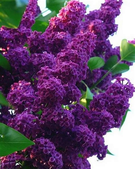 25+ Best Ideas About Lilac Bushes On Pinterest Lilac