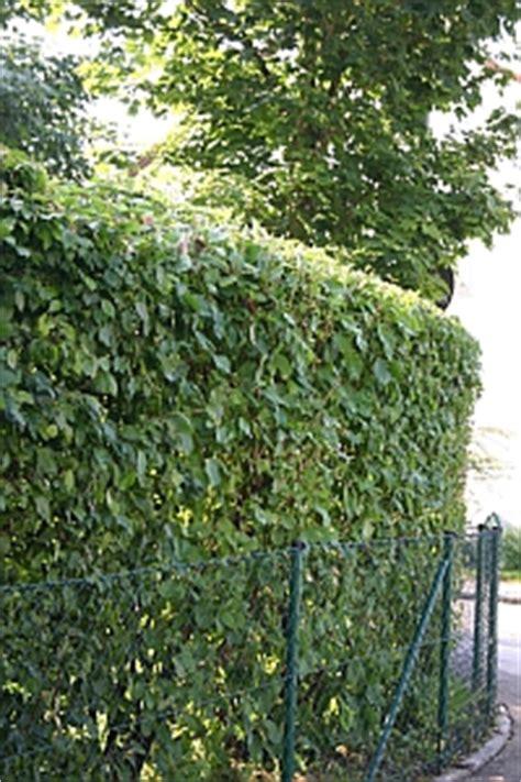 wann dürfen hecken geschnitten werden hecken und geh 246 lze schneiden thuje kirschlorbeer liguster zypressen