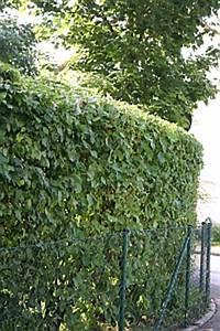 Wann Dürfen Hecken Geschnitten Werden : hecken und geh lze schneiden thuje kirschlorbeer liguster zypressen ~ Frokenaadalensverden.com Haus und Dekorationen