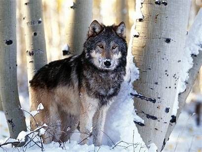 Wolves Wallpapers Fanpop Wolf Backgrounds Pretty Snow