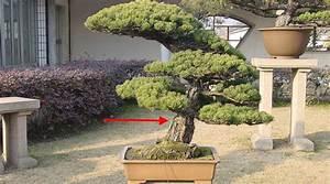 Pflege Bonsai Baum Indoor : teuerster bonsai der welt bonsai baum pflege bonsai baum ~ Michelbontemps.com Haus und Dekorationen