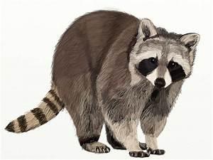 How To Draw A Realistic Raccoon | www.pixshark.com ...