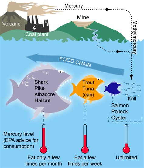 seafood smart mercury tuna buying guide wikipedia chain food fish ocean chart avoiding levels process eating eat does go