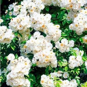 Kletterrosen Richtig Pflanzen : rosen richtig schneiden garten pinterest ~ Markanthonyermac.com Haus und Dekorationen