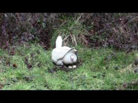 amazing clip   goose laying  egg close  youtube