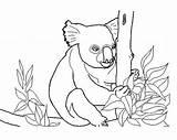 Koala Coloring Printable Koalas Animal Animals Colors Adult Toddlers Popular sketch template
