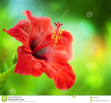 hibiscus flower stock photography image