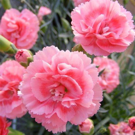 Floare Dianthus
