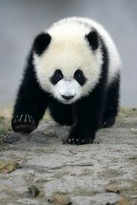Panda Bears on Pinterest | Pandas, Giant Pandas and Baby ...