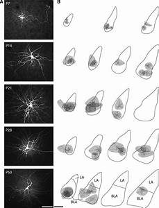 Location Of Reconstructed Bla Principal Neurons  A