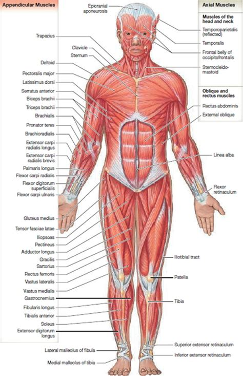 muscle anatomy skeletal muscles groin muscles calf