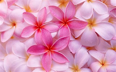 tropical plumeria wallpapers hd wallpapers id