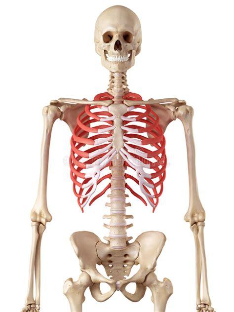 Anatomia Gabbia Toracica - la gabbia toracica illustrazione di stock illustrazione