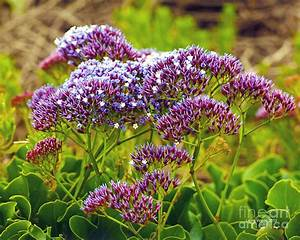 Limonium Statice Photograph By Artist And Photographer
