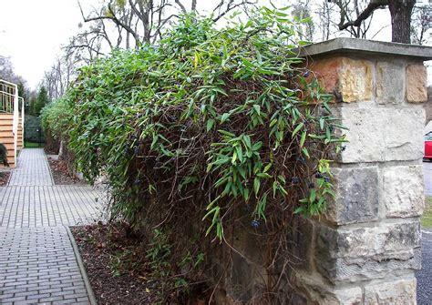 Immergrüne Kletterpflanze immergrüne kletterpflanzen immergr ne kletterpflanzen gartentr ume