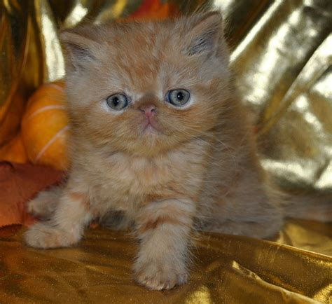 Cats Breeders by Shorthair Cat Breeders With Kittens For Sale